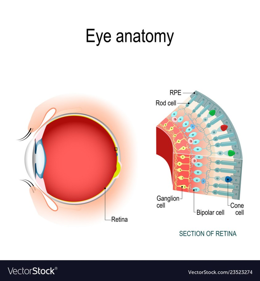 Eye anatomy rod cells and cone cells Royalty Free Vector