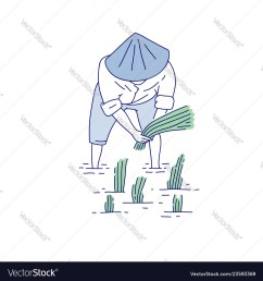 sketch diagram of rice plant [ 1000 x 1080 Pixel ]