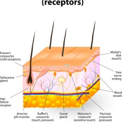 Skin Cross Section Diagram 2002 Ford F250 Wiring Human Royalty Free Vector Image