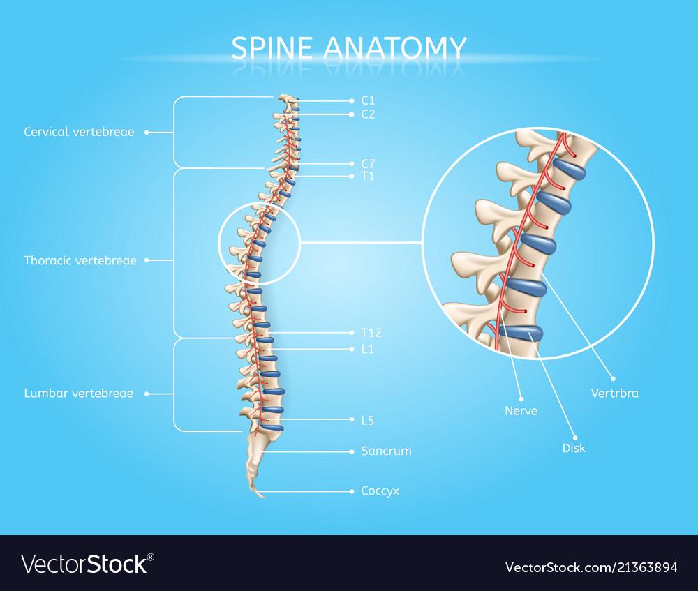 medium resolution of human spine anatomy medical infographic vector image