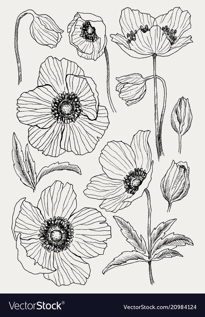 Anemone flower drawing Royalty Free Vector Image