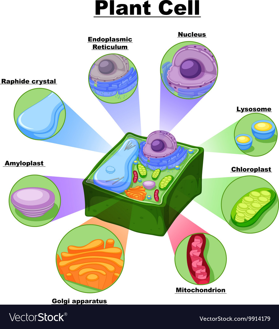 hight resolution of diagram showing parts of plant cell vector image