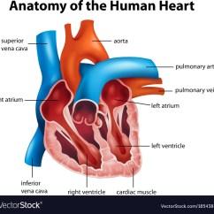Realistic Heart Diagram Rj11 Wiring Uk Human Anatomy Royalty Free Vector Image Vectorstock