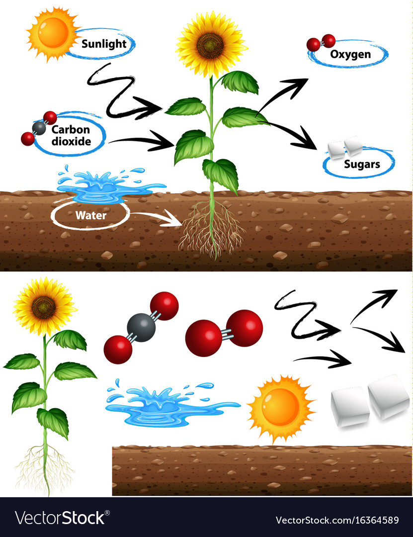 medium resolution of diagram showing how plant grows vector image
