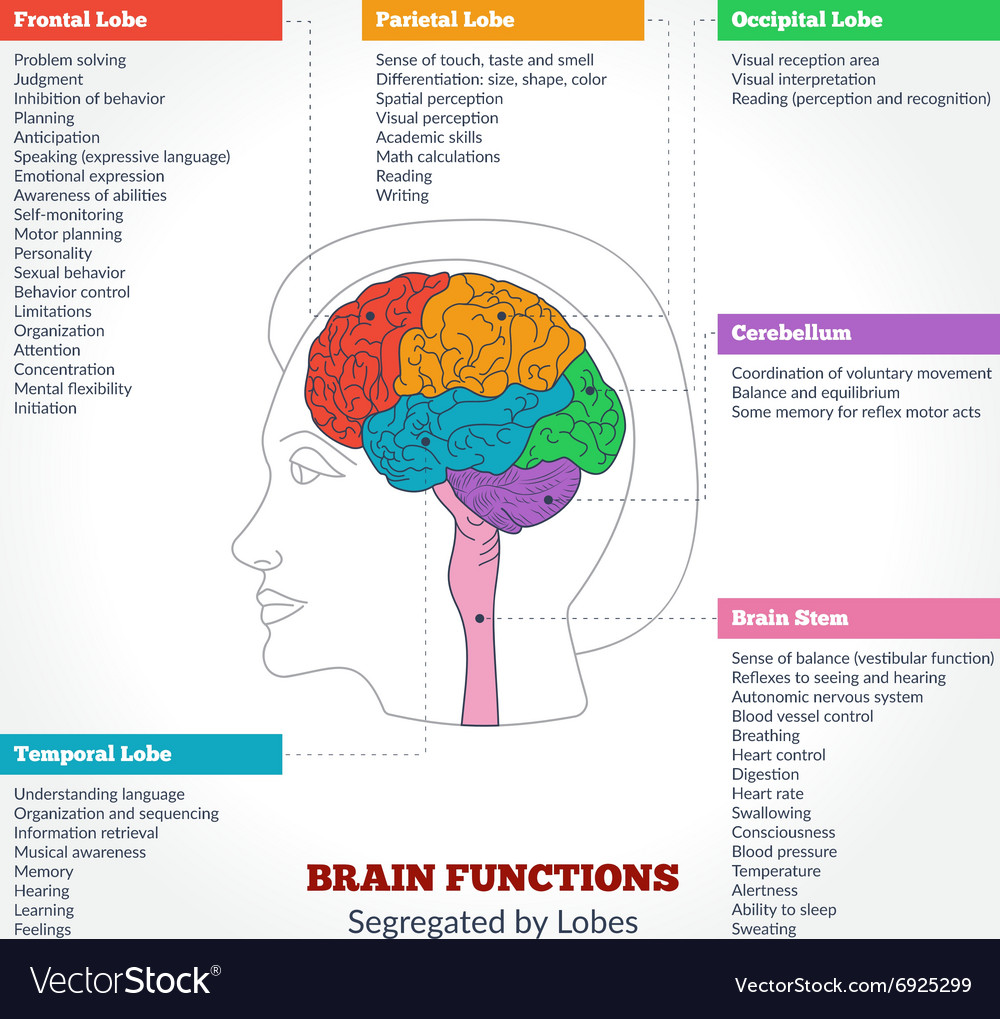 medium resolution of human brain anatomy and functions vector image