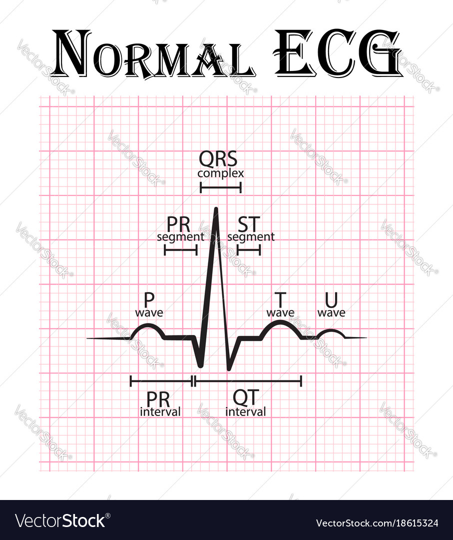 hight resolution of normal electrocardiogram vector image