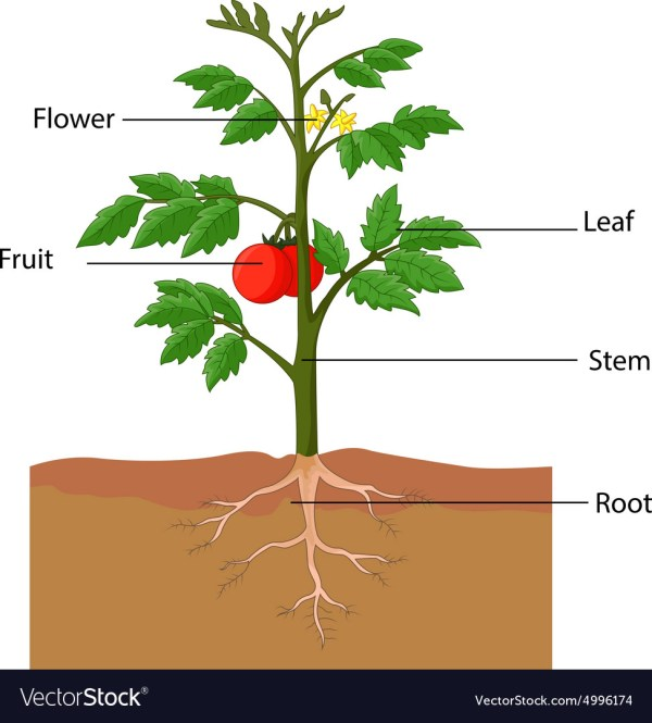 Showing Parts Of Tomato Plant Royalty Free Vector