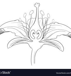 diagram of tiger lily [ 1000 x 857 Pixel ]