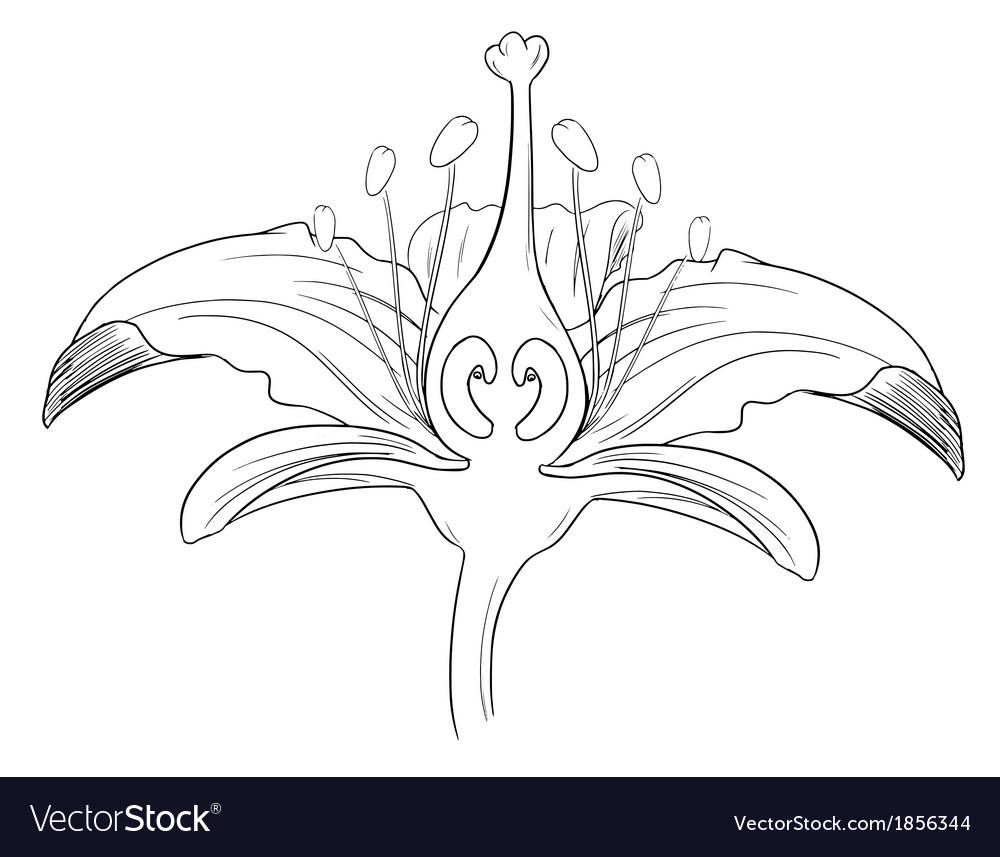medium resolution of diagram of tiger lily