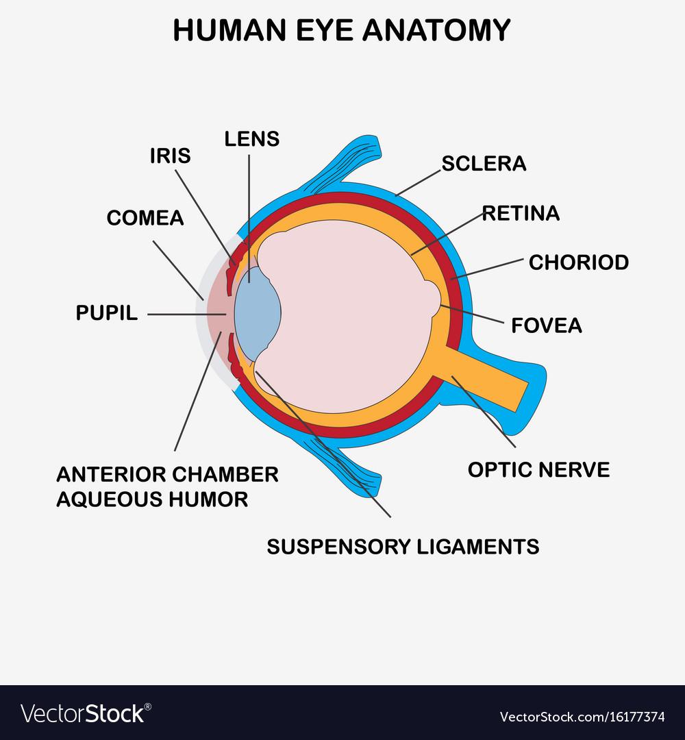 hight resolution of anatomy of human eye vector image