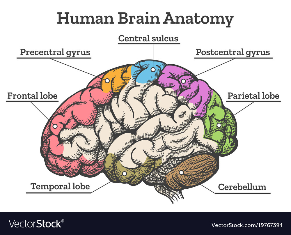 hight resolution of human brain anatomy diagram vector image