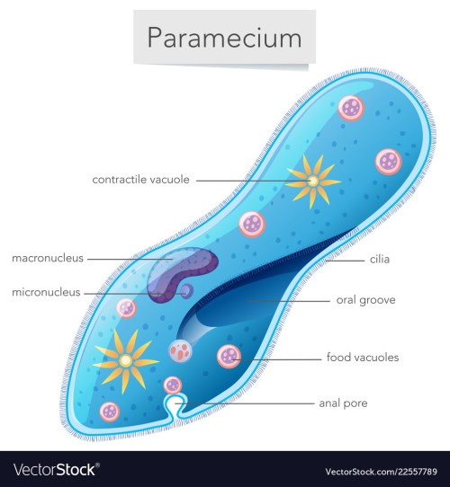 small resolution of paramecium bacteria science diagram vector image
