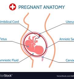 pregnancy anatomy medical vector image [ 1000 x 898 Pixel ]