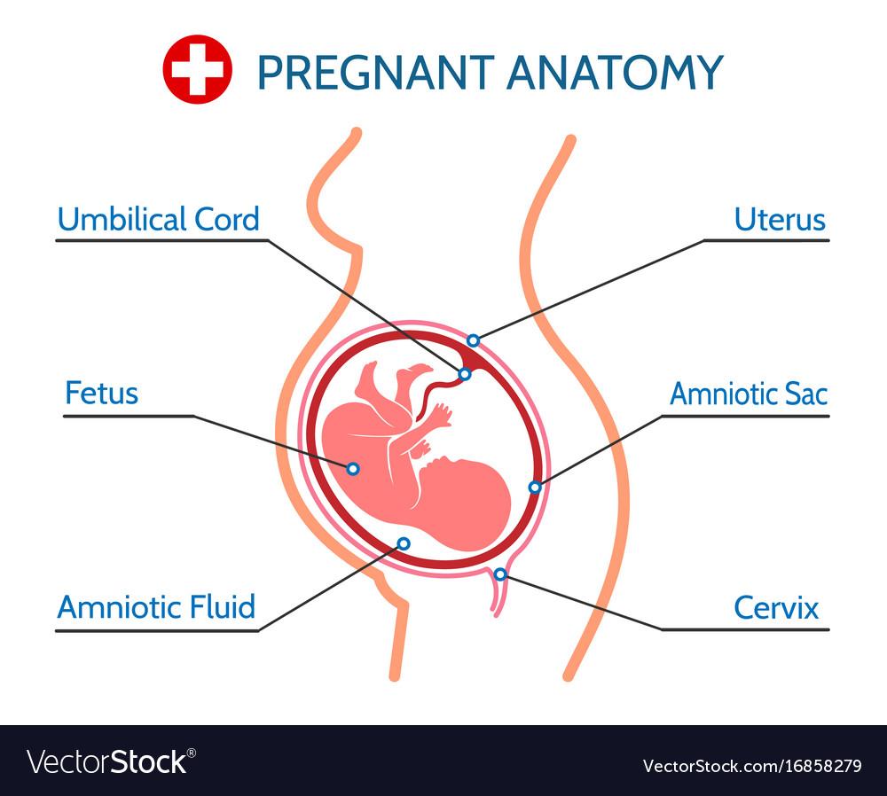 medium resolution of pregnancy anatomy medical vector image
