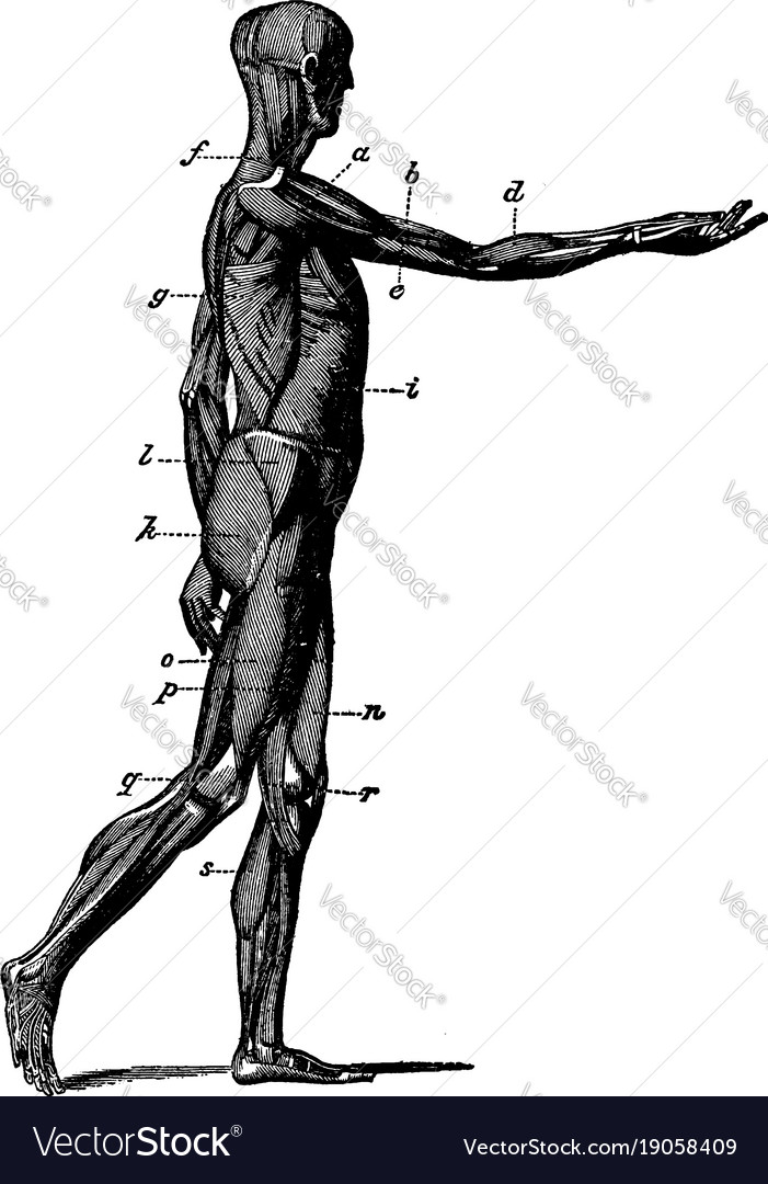 Body Side View : Muscles, Vintage, Royalty, Vector, Image