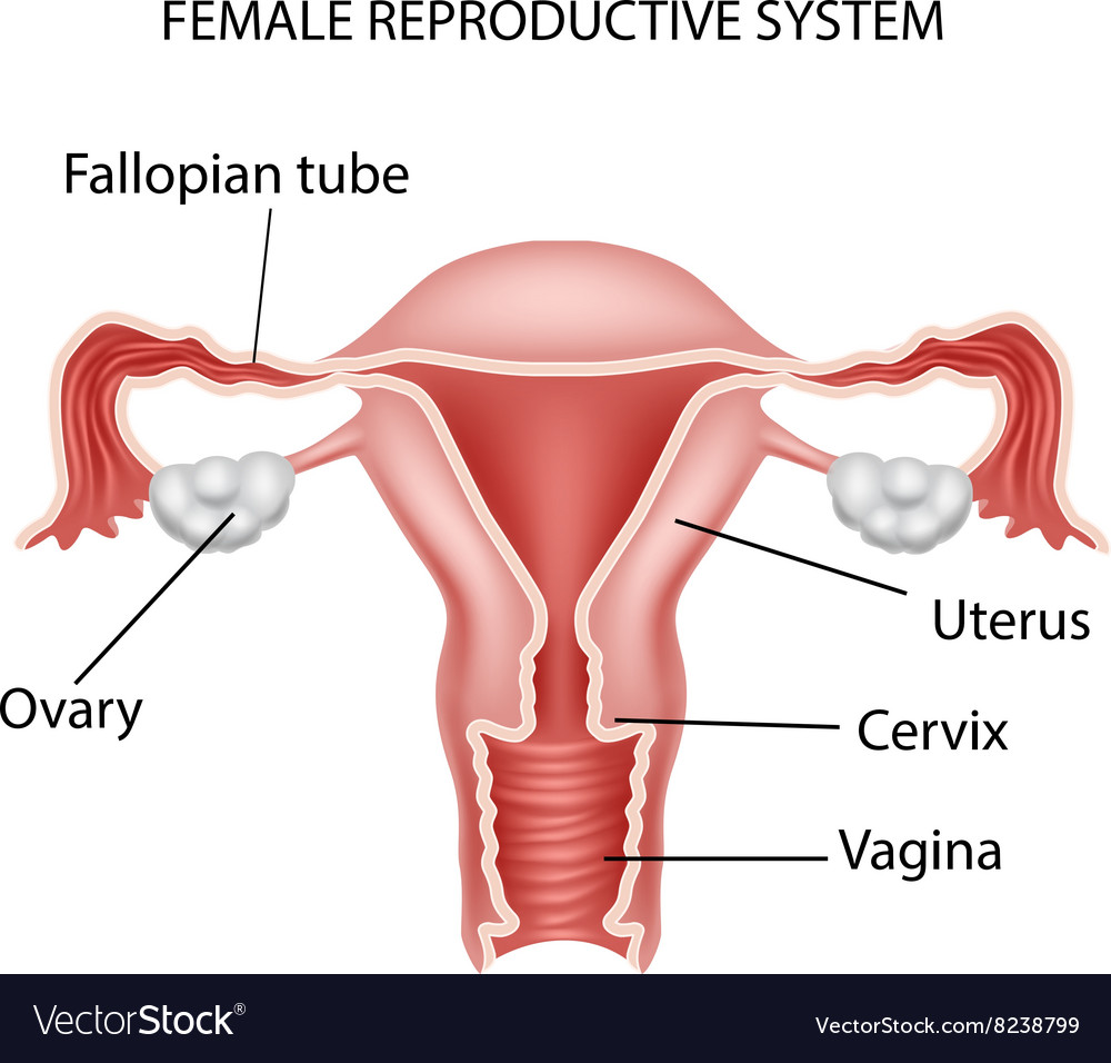 medium resolution of cartoon of female reproductive system vector image