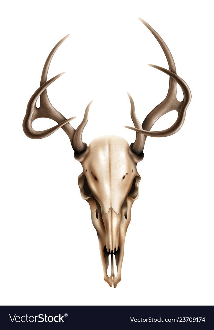 Deer Skull Vector : skull, vector, Realistic, Textured, Skull, Horns, Vector, Image