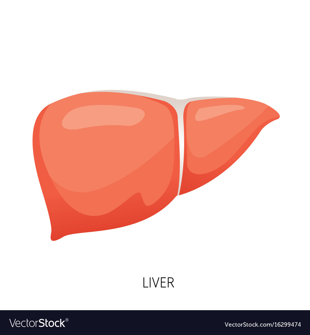 hight resolution of liver human internal organ diagram vector image