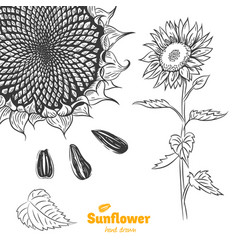 Sunflower plant helianthus annuus growth stages Vector Image
