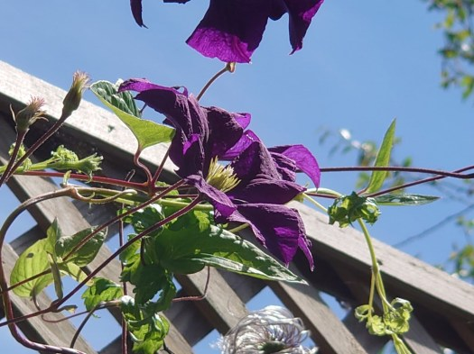Sony Xperia 1 II camera vs 200mm shot of a wooden garden trellis with a colorful purple and green plant climbing it.