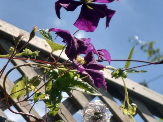 Sony Xperia 1 III camera VS 200mm shot of a wooden garden trellis with a colorful purple and green plant climbing it.