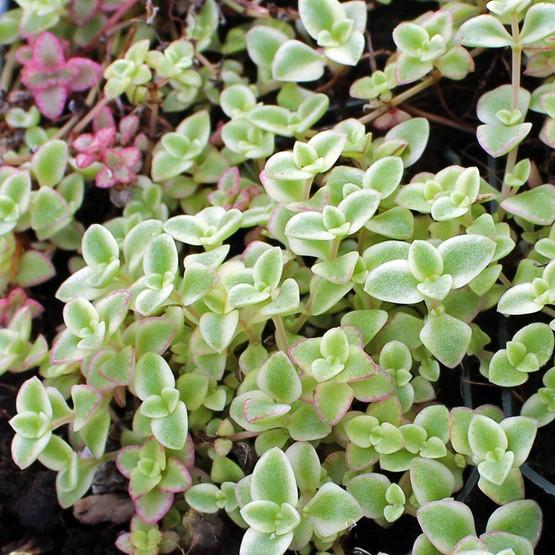 Unusual Succulent Plants Sale