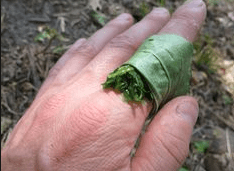 Make a poultice out of Plantain Leaf