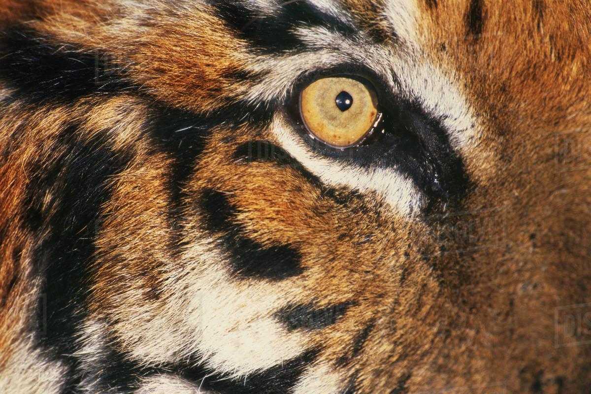 bengal tiger s face