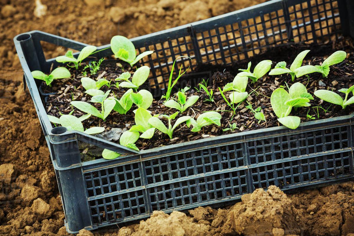 a crate of seedlings