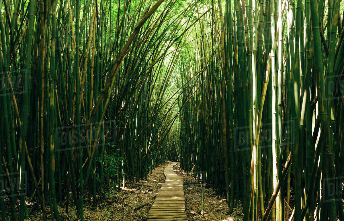 boardwalk amidst bamboo trees