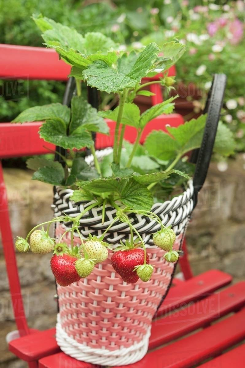 woven plastic garden chairs cheap chair covers and sashes a strawberry plant in decorative pot on red