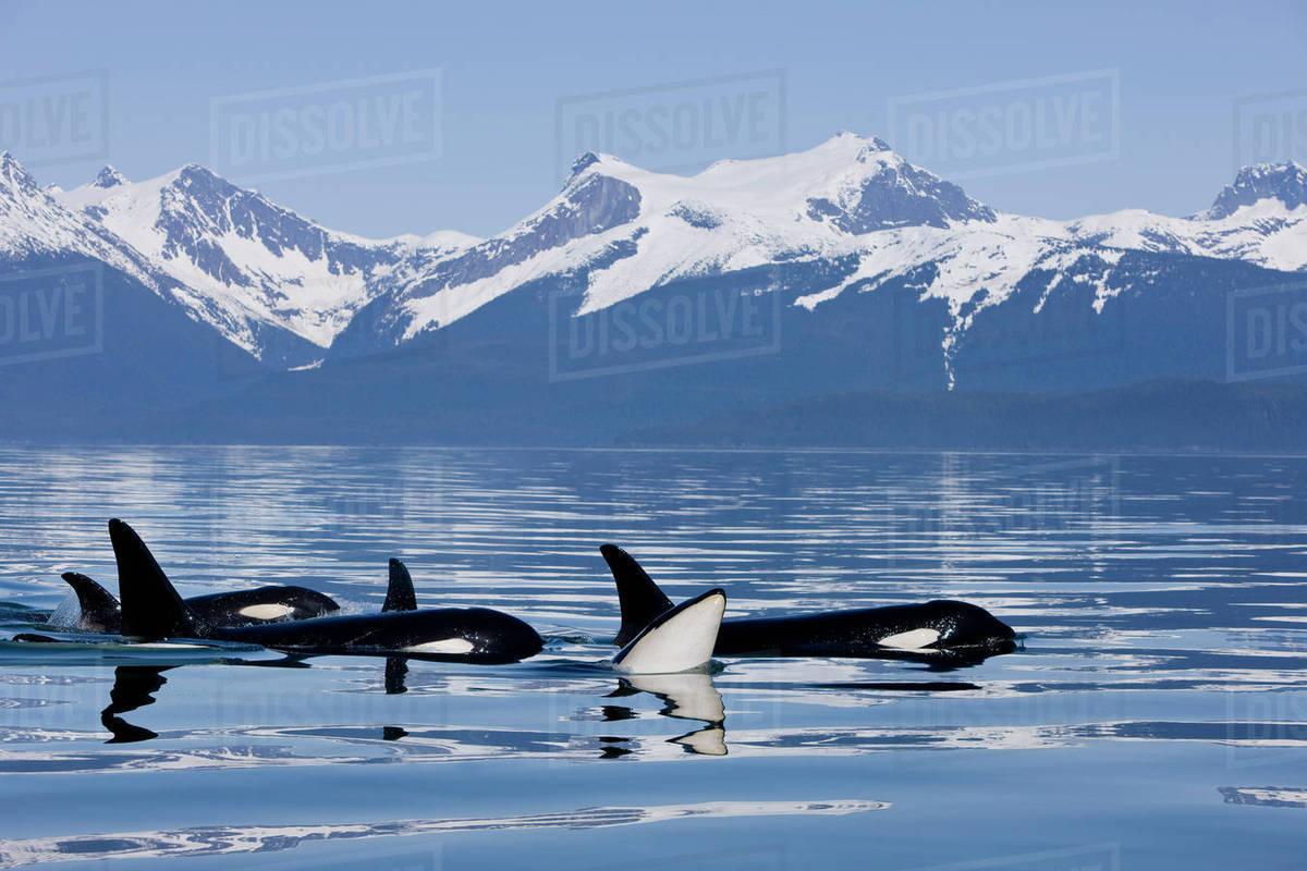 Killer Whale Hd Wallpaper Orca Surface In Lynn Canal Near Juneau With Coast Range