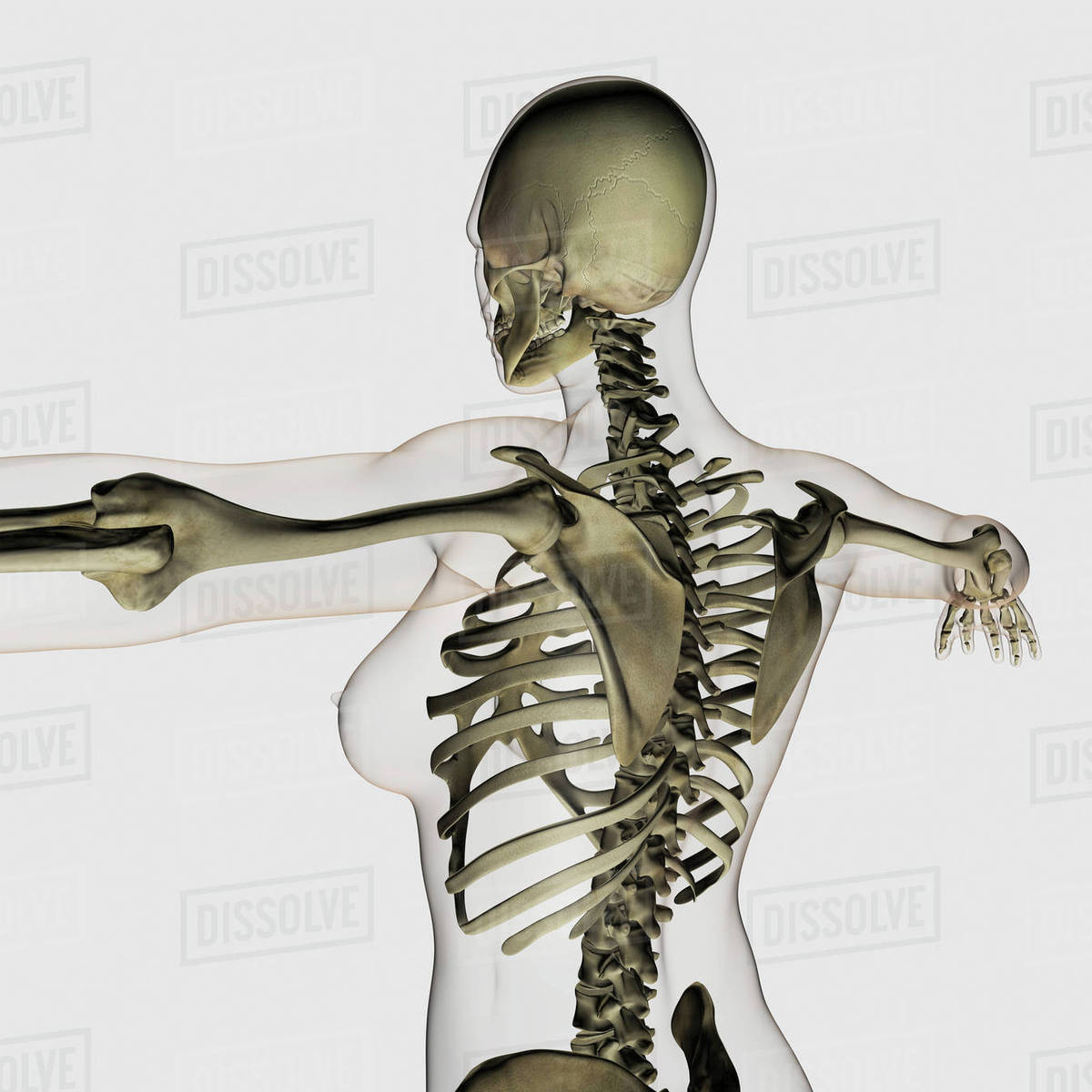 Three Dimensional View Of Female Upper Back And Skeletal System