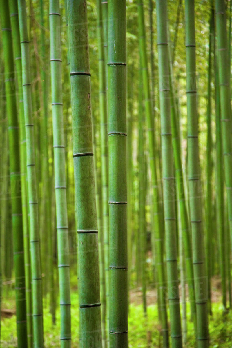 grove of bamboo trees