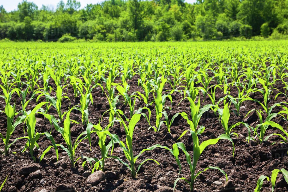 corn plant seedlings in