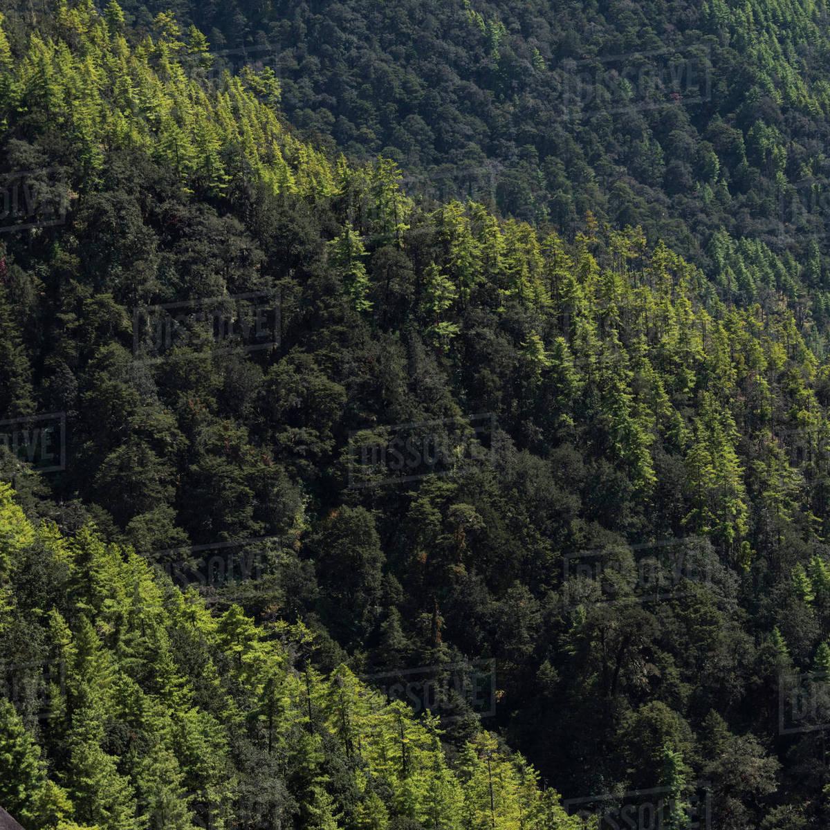 Original art watercolor painting, measuring: Dense Forest On A Mountainside Taktsang Trail Paro Bhutan Stock Photo Dissolve