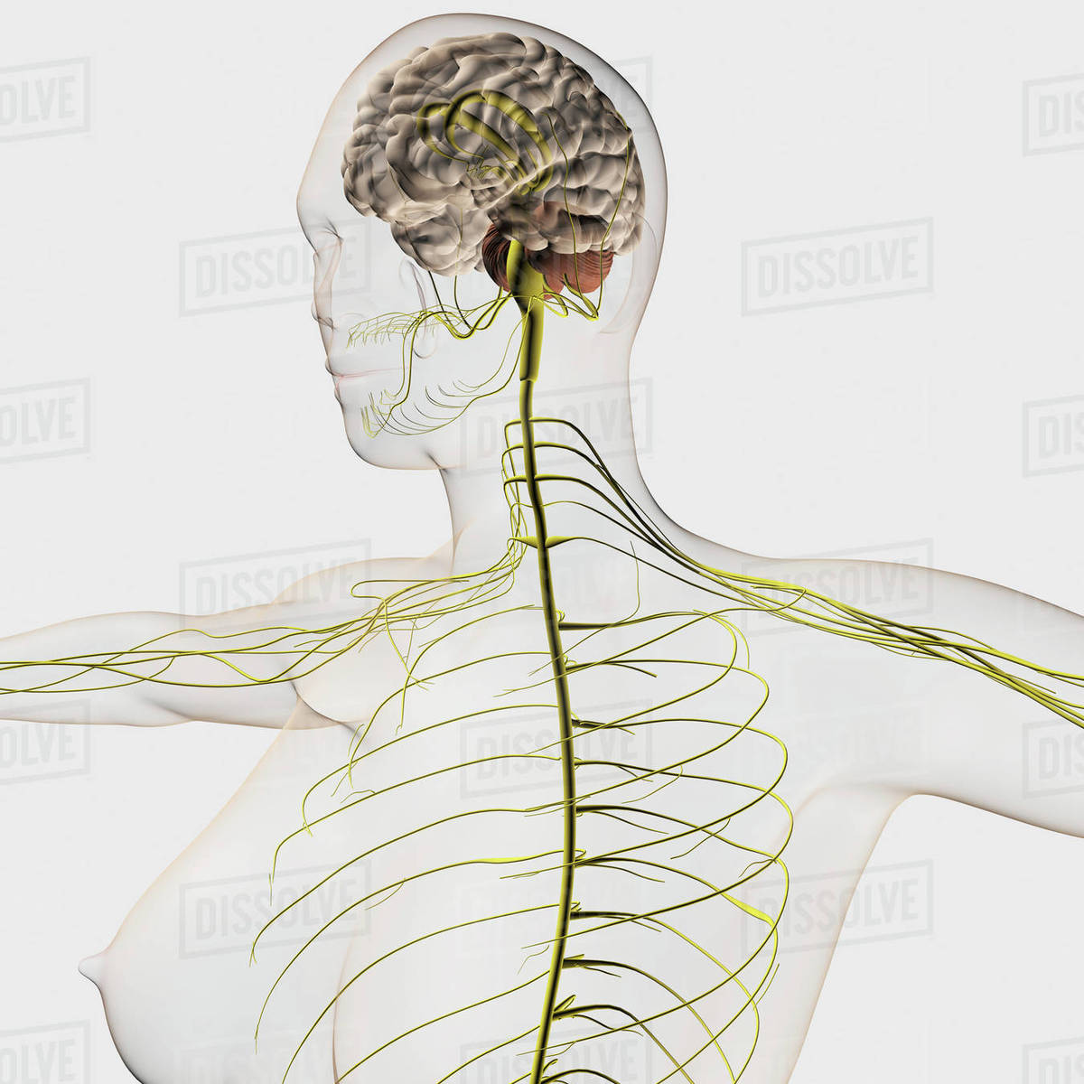hight resolution of medical illustration of the human nervous system and brain