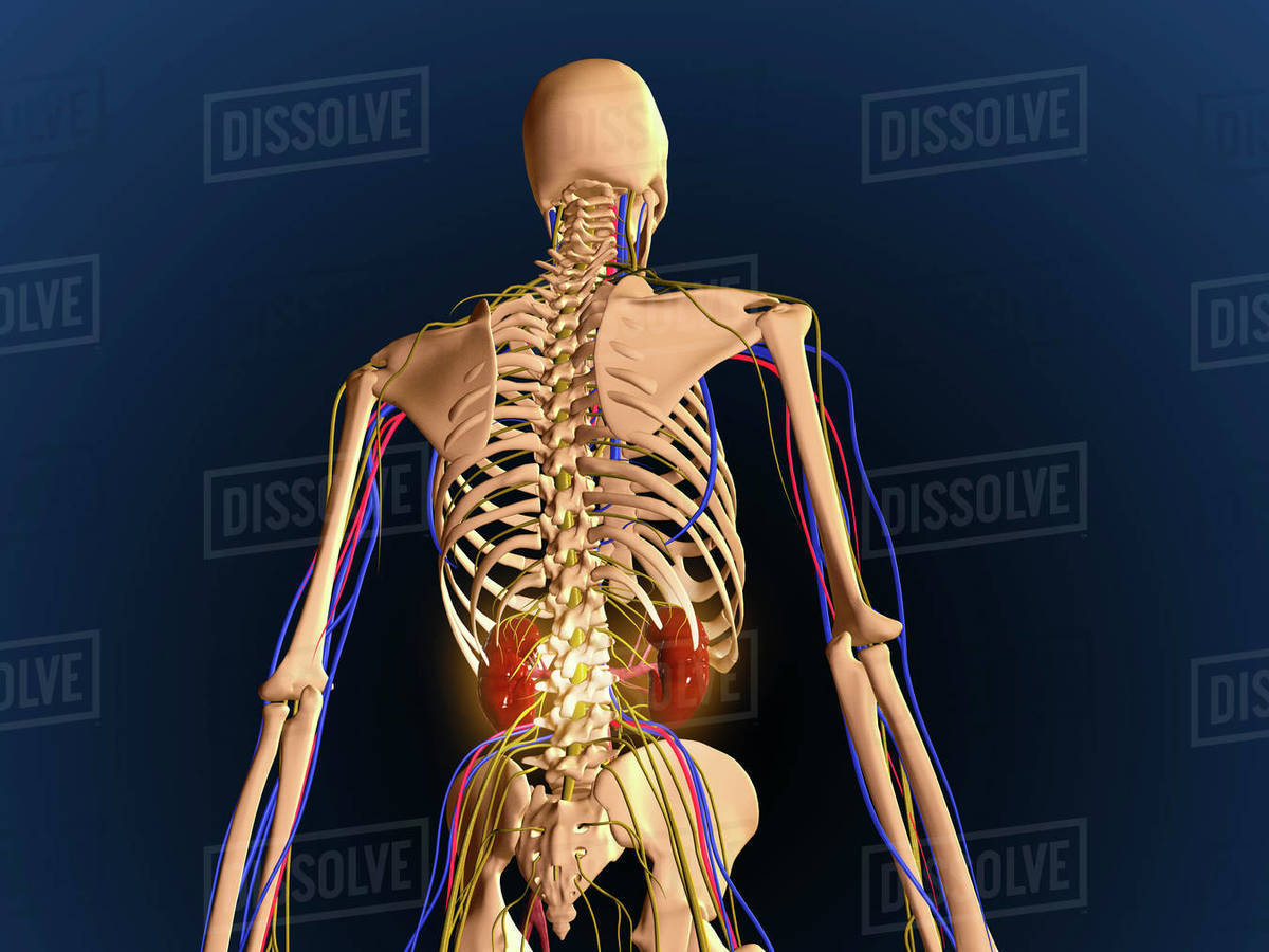hight resolution of human upper body showing bones lungs and circulatory system