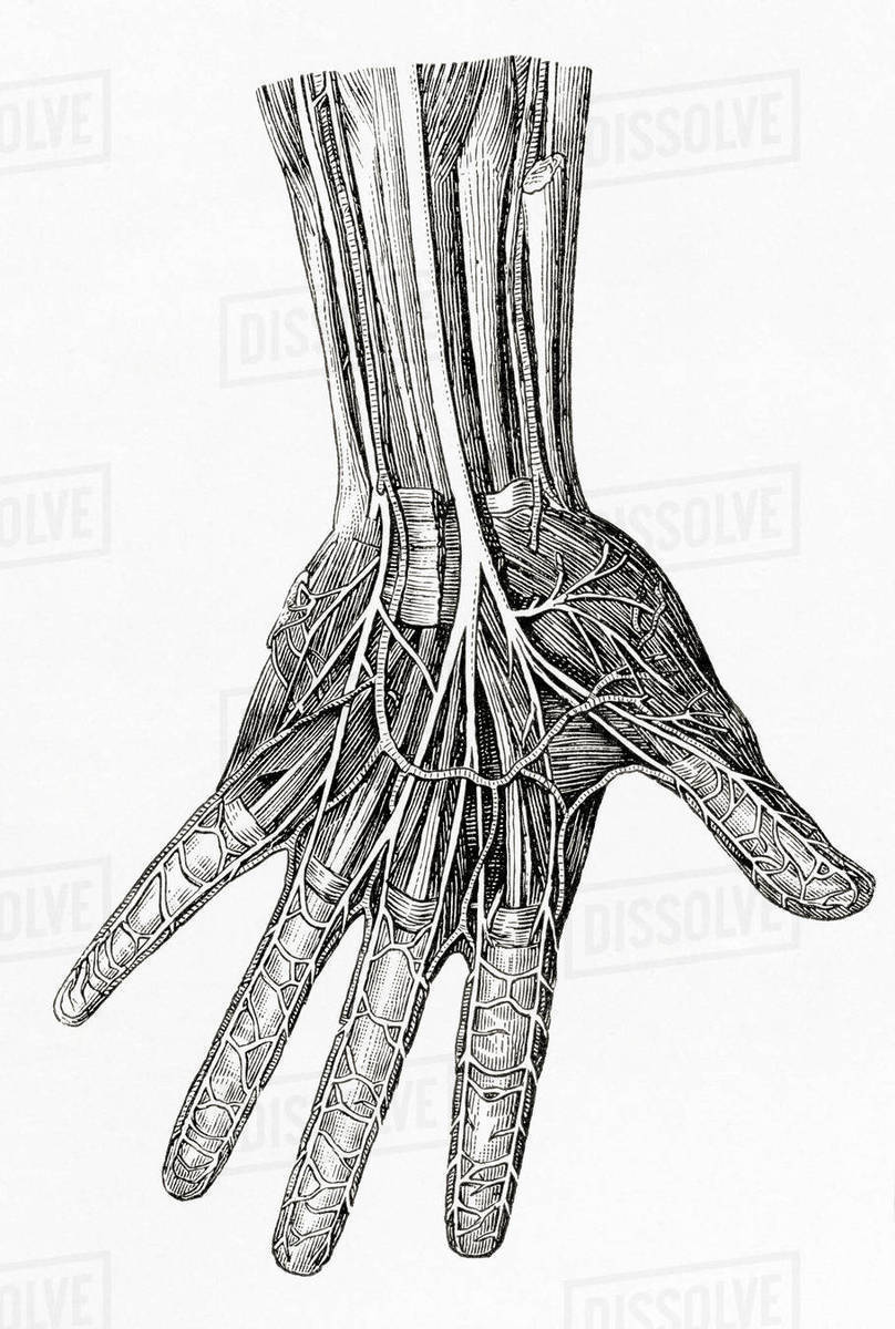 hand nerves diagram reversing split phase motor wiring showing the of human from meyers lexicon published 1924