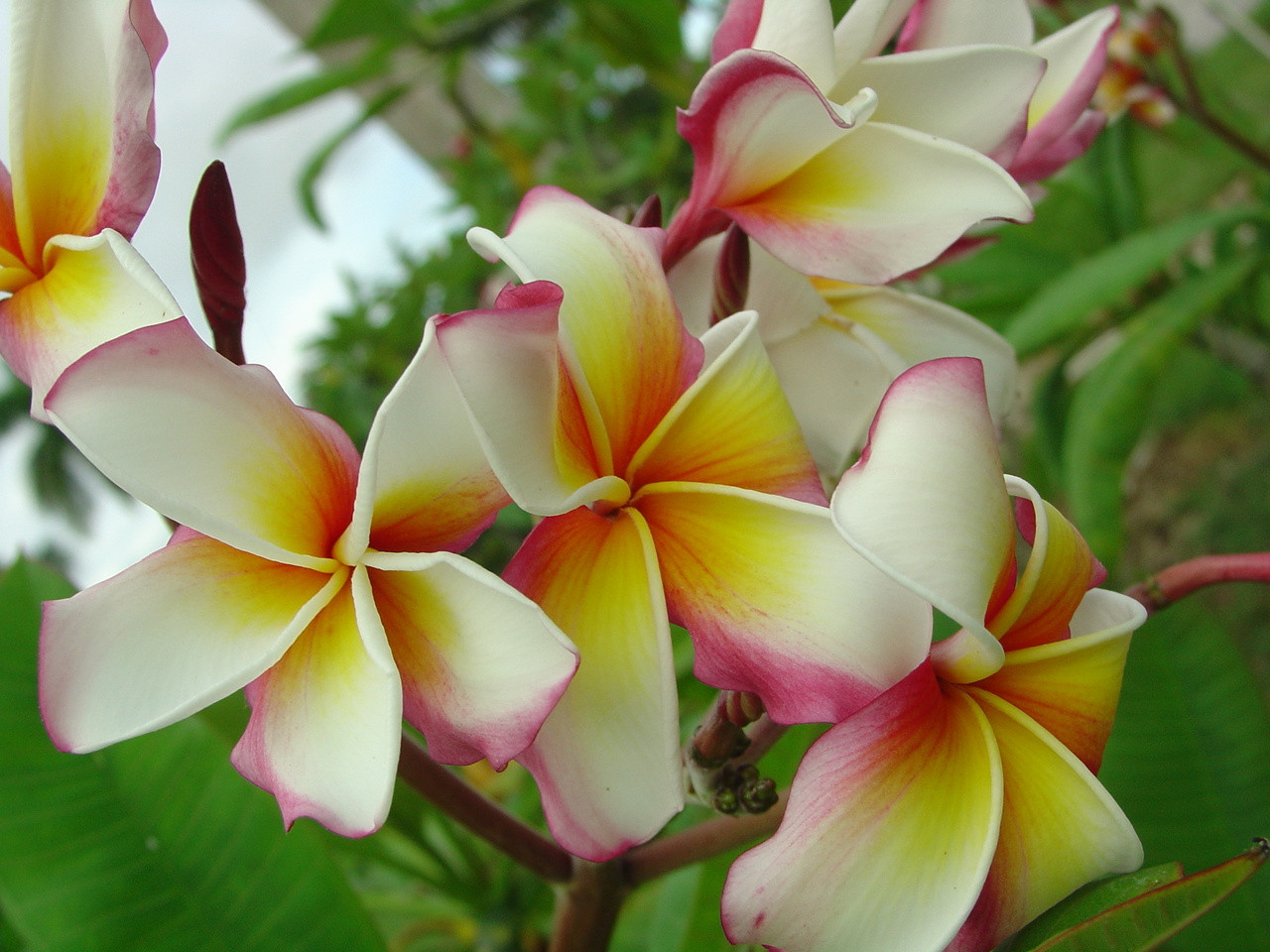 Hawaiian Flag Plumeria - Florida Colors Nursery