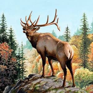 American Elk Facts Information and Photos  American