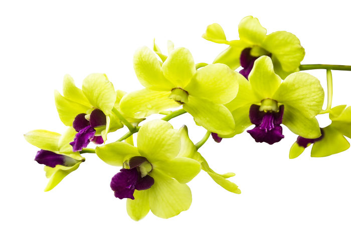 Orchid Flower Color Meaning  Natural Orchids Boutique