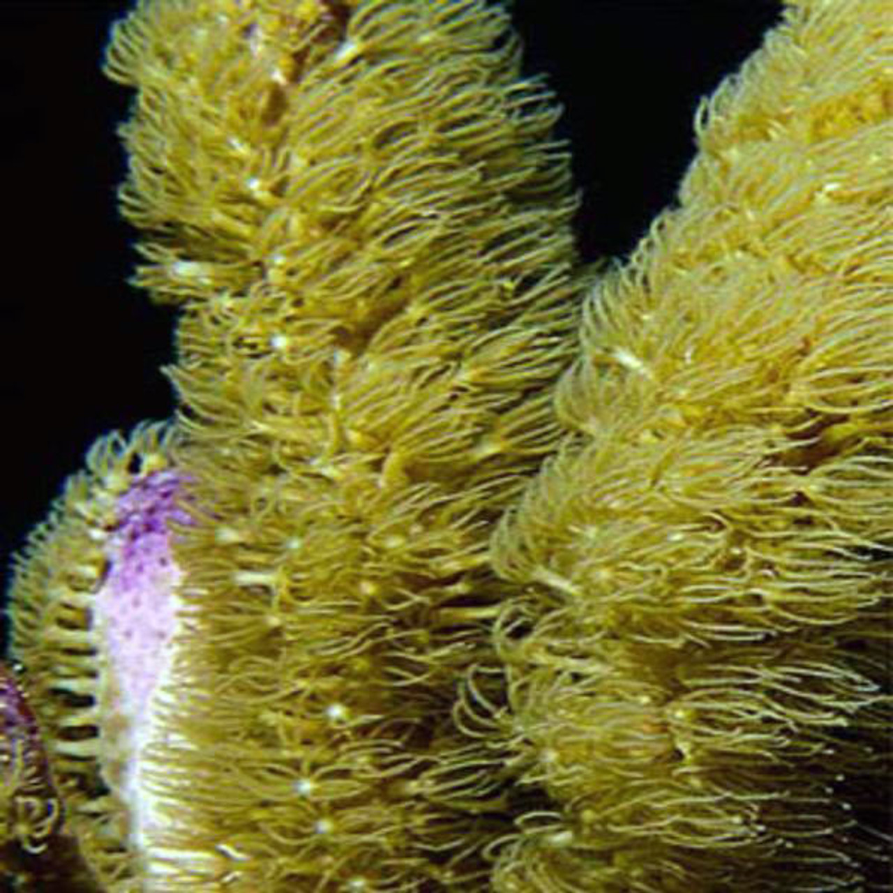 Corky Finger Gorgonian Sea