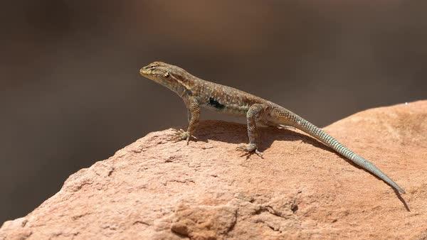side blotched lizard standing
