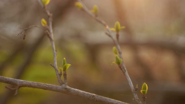 Image result for Spring tree leaf buds sun free image