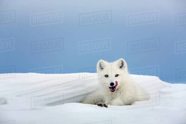 Arctic Fox In White Winter Coat Rests Snowdrift