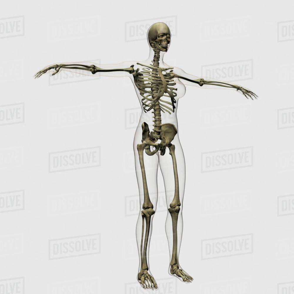 medium resolution of medical illustration of full female skeleton
