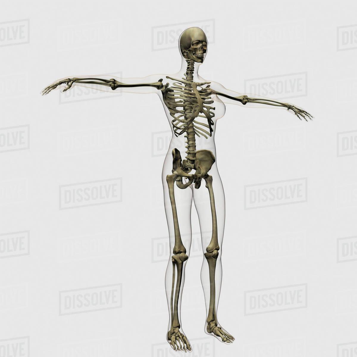 hight resolution of medical illustration of full female skeleton