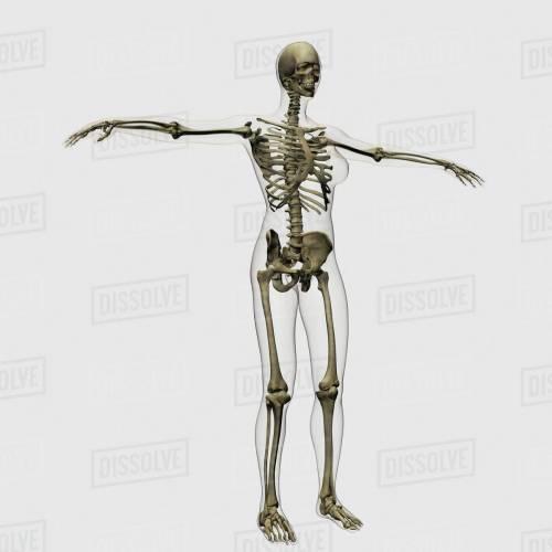 small resolution of medical illustration of full female skeleton