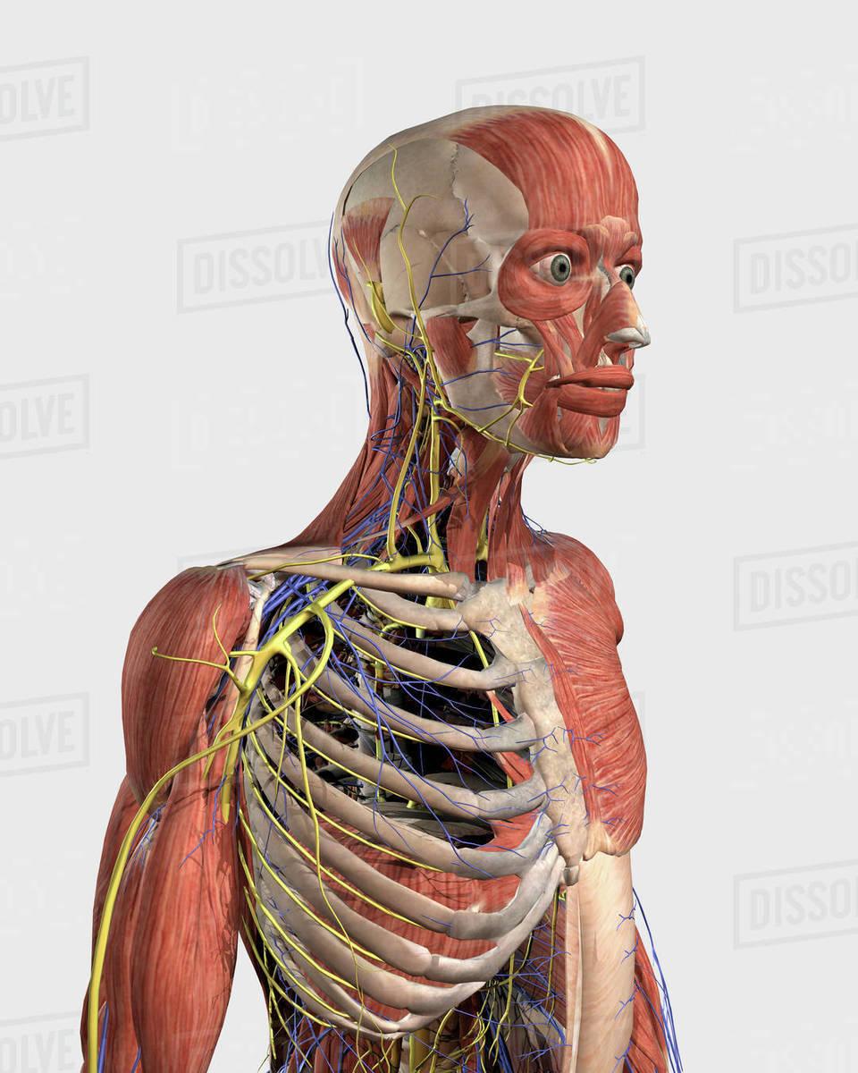 medium resolution of pulmonary circulation of human heart and lung
